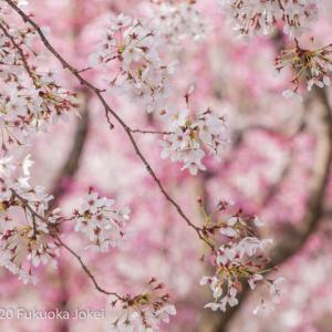 桜の季節 福岡市周辺 桜風景写真集