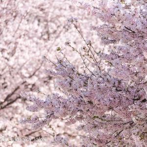少しだけ桜写真 2020 春 その1