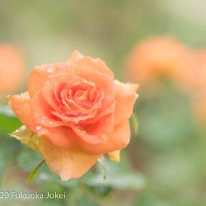 福岡花写真 春バラ 雨の石橋文化センター