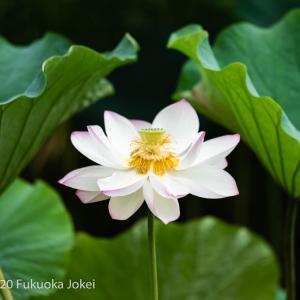 福岡花写真 舞鶴公園の蓮 2020