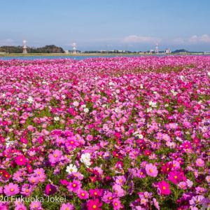 2020 福岡のコスモス 水巻町コスモス園