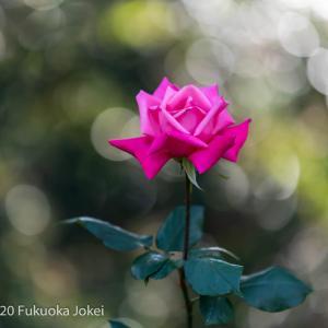 秋バラの季節 福岡市植物園 2020 その1