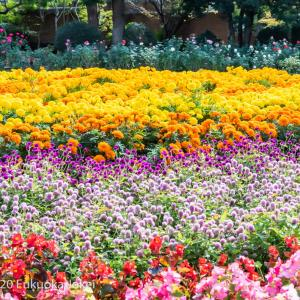 秋バラの季節 福岡市植物園 2020 その2