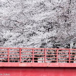 福岡情景 満開の那珂川沿いの桜 2021