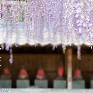 福岡花景色 藤の花の季節 糸島 井原住吉神社 2021