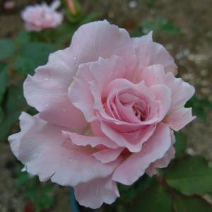 *台風後のバラ*