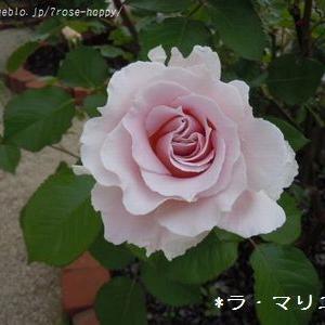 *今年のバラと来年のバラ*