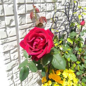 *待ちに待ったバラの開花*