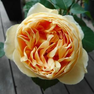 *日常再開と可愛いバラ*