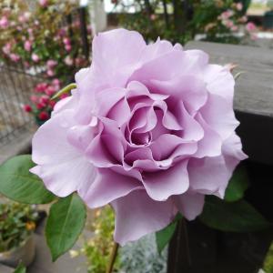 *今年お迎えしたバラとお花購入*