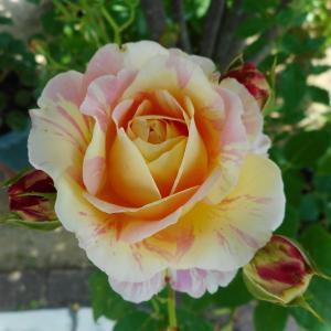 *庭のバラを楽しむ*