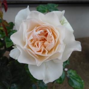 *バラの2番花待ちと夏のお花*