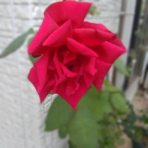 *咲いているバラ*