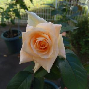*バラを綺麗に見せたくて*