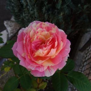 *咲いているバラとビオラ種まき後*