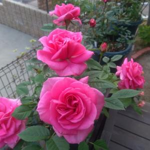 *また雨~濡れたバラも綺麗ですが*