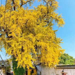 太平禅寺に銀杏を見に行く