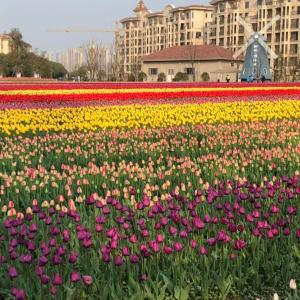 蘇州・呉江で毎年恒例のチューリップ祭り