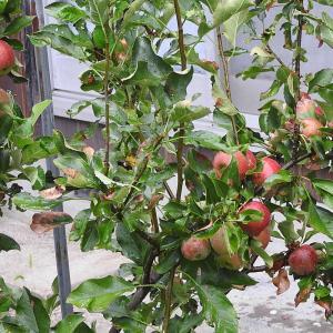 """リンゴ アルプス乙女"""" が綺麗な色になりました"""