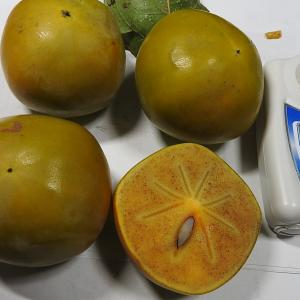 早生柿の初収獲