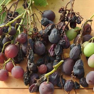 我が家の乾し葡萄