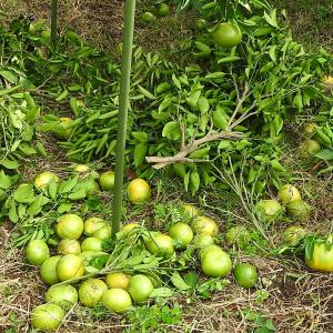 蜜柑類 狂気の摘果