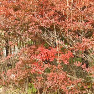 紅葉を求めて大平山市民農園へ