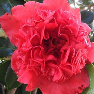 ツバキが開花