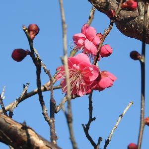 春日和 梅花を求めて天神様へ