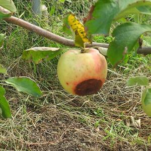 リンゴの病気