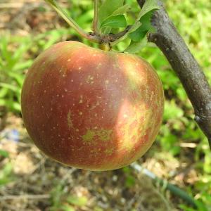 果樹に色気が出ました