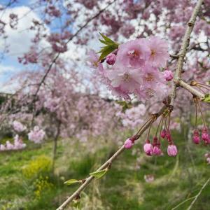 [なう]桜の庭で春キャンプ