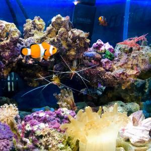 スカンクシュリンプの飼育 サンゴ イソギンチャクとの相性