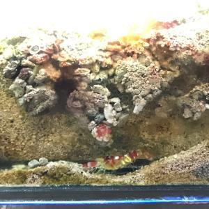 テッポウエビ(ピストルシュリンプ)を魅せる水槽