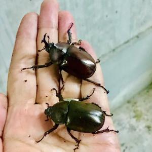 ついに見つけた!極小カブトムシ!