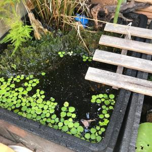 ビオトープに雑草を植えてみたらとんでもないことに。