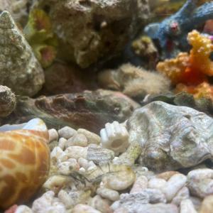ケブカガニ 〜テディベア・クラブ〜という蟹だそうです。