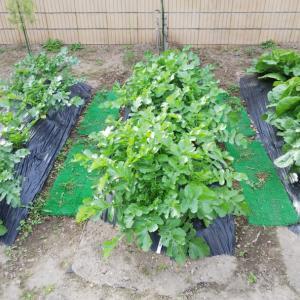 ◆秋冬野菜の経過報告と禁断の果樹◆