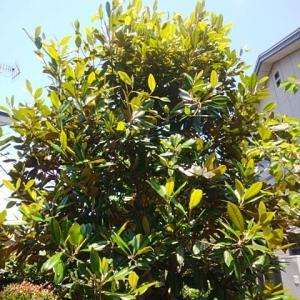 〝泰山木〟が咲いたよ!