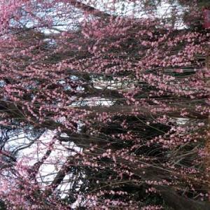 梅が満開へ~