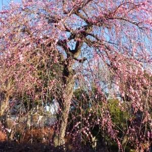 梅が咲いてきた~