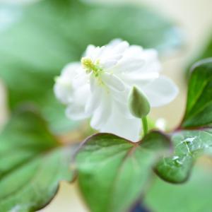 清かな初夏の花々。②
