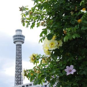 薔薇と横浜マリンタワー