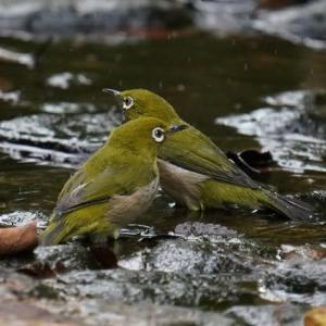 メジロちゃんが2羽 水浴び・・・
