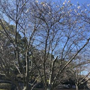 桜とエナガちゃん!