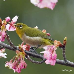 河津桜とメジロちゃん・・・