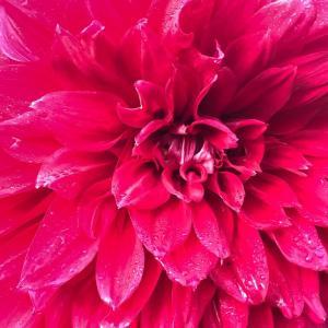 公園の色んなダリアの花!