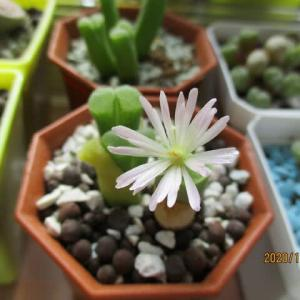 白拍子の花が咲きました