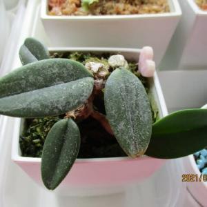 植え込み材無し洋蘭栽培にチャレンジ