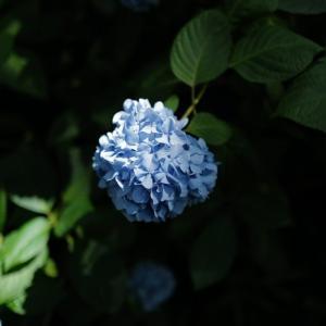 明月院の紫陽花 in 2020。6月下旬の咲き具合と、Covid-19の影響による混雑度合いの変化。